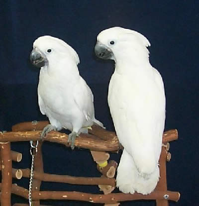 Picture of Umbrella Cockatoos