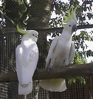 Greater Sulphur-crested Cockatoos