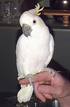 """Rocky"" is a Lesser Sulphur-crested Cockatoo"