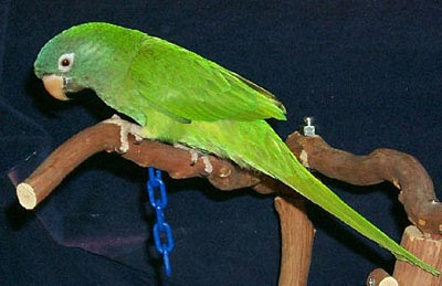 Juvenile Blue-crowned Conure or Sharp-tailed Conure