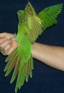 Blue-crowned Conure juvenile