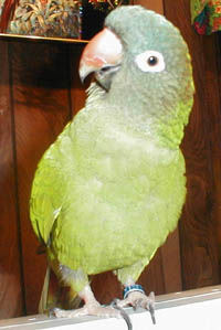 """Sam"" is a Blue-crowned Conure or Sharp-tailed Conure"