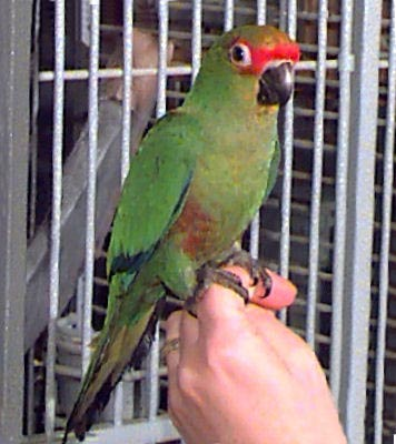 Golden-capped Conure, Golden-headed Conure