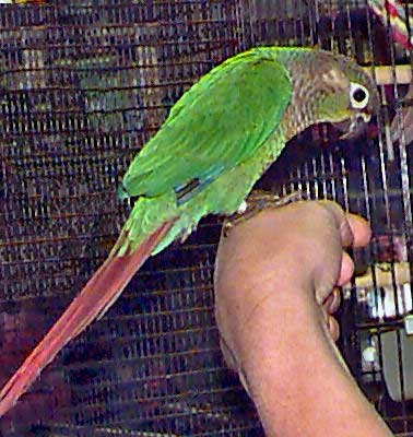 Greencheek Conure