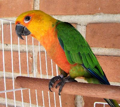 Picture of a Jenday Conure or Janday Conure