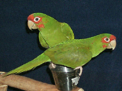 Mitred Conures, Heckle and Jeckle, Aratinga mitrada