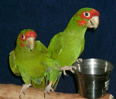 Conure Parrot Picture of Heckel and Jeckel, Mitred Conures.