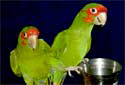 Click to learn about Conures