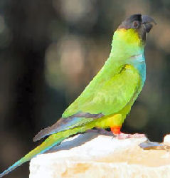 Picture of a Nanday Conure or Black-hooded Parakeet