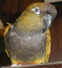 """Mollie"" a Patagonian Conure"