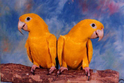 """Boots"" and ""Bottoms"" are Queen of Bavaria Conures or Golden Conures"