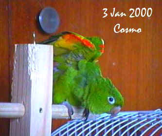 Cosmo, a White-eyed Conure, Aratinga solstitialis