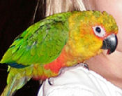 """Roxy"", picture of a Jenday conure"