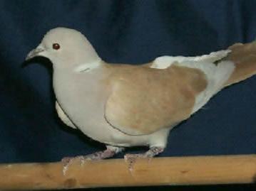 Tangarine Ringneck Dove