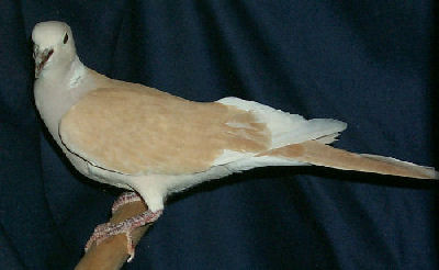 Tangerine Ringneck Dove