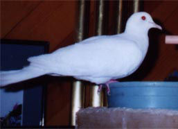 White Dove, Sacred White Dove, or Java Dove