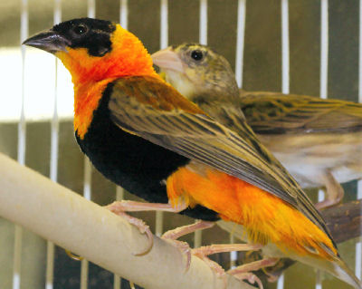 Finch Bird - Bird Care and Information for Types of Finches