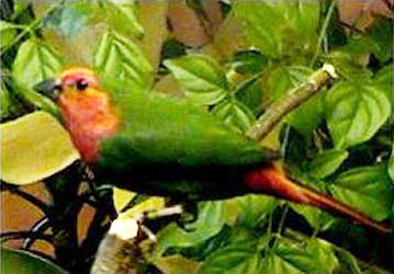 """Pavarotti"" a Red-headed Parrot Finch"