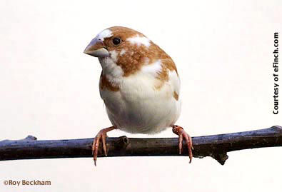 Fawn Pied Society Finch