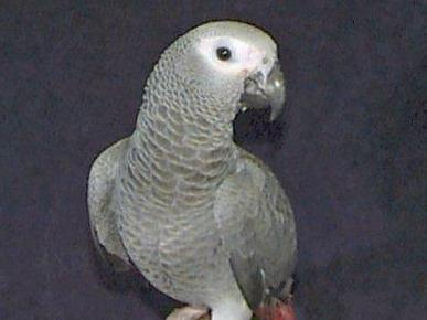 Congo African Grey Parrot Psittacus erithacus, also called the Red Tailed Grey