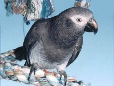 Timneh African Grey Parrot Psittacus erithacus timneh