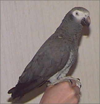 Timneh African Grey