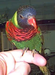 Picture of a Green-naped Rainbow Lorikeet