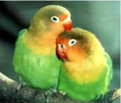 A pair of Fischer's Lovebirds