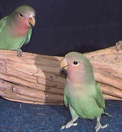 Picture of Peach-faced Lovebirds!