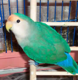 """Melody"" a Dutch Blue Lovebird"