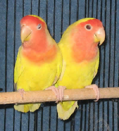 A pair of Lutino Peach-faced Lovebirds