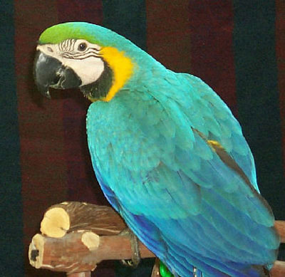 Blue and Gold Macaw, Type of Large Macaw