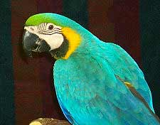 Picture of a Blue and Gold Macaw Ara ararauna
