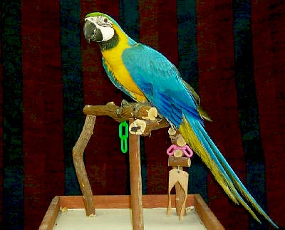 Blue and Gold Macaw, Ara ararauna, Blue and Yellow Macaw