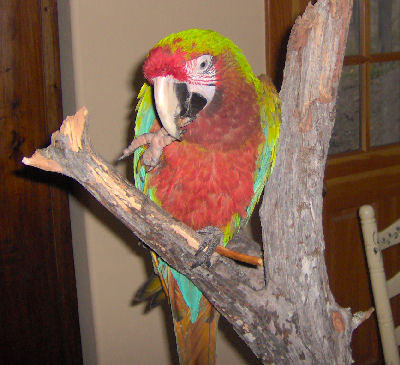 Picture of a Blue and Gold x Calico Macaw, Second Generation Hybrid Macaw