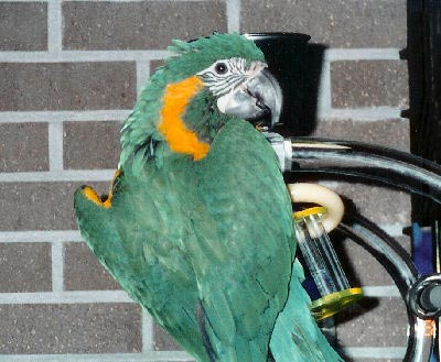 Blue-throated Macaw, Ara glaucogularis, also called Caninde Macaw or a Wagler's Macaw