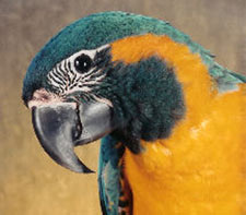 """Raena"" is a Blue-throated Macaw, Caninde Macaw, or a Wagler's Macaw"