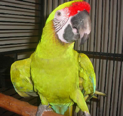 Buffons Macaw, Great Green Macaw, Ara ambiguus