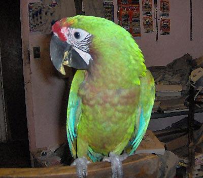 Buffwing Macaw, Cross between a Green-winged Macaw and a Buffon's Macaw