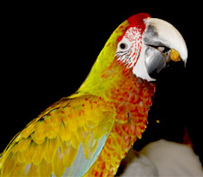 Buffwing Macaw