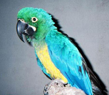 A young, just weaned Caloshua Macaw