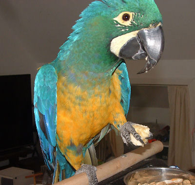 Caloshua Macaw, Cross between a Blue and Gold Macaw and a Hyacinth Macaw