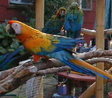 """April"" a Camelot Macaw hanging out with her friends!"