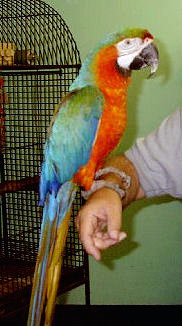 Picture of a Catalina Macaw