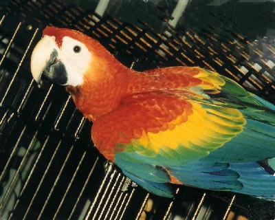 The Scarlet Macaw is a type of Large Macaw