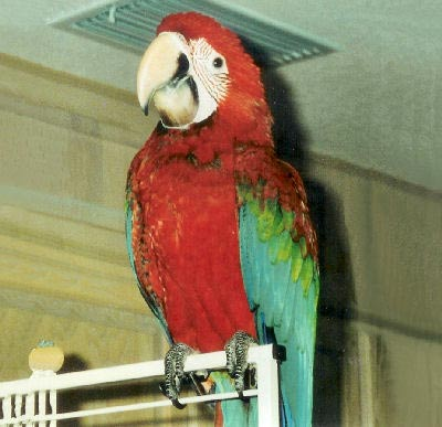 Green-winged Macaw, Ara chloroptera, Green Wing Macaw. Red and Green Macaw, Red and Blue Macaw, Crimson