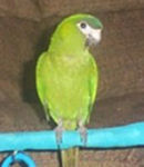 "Picture of ""Bella"", and 8 month old Illiger's Macaw or Blue-winged Macaw"