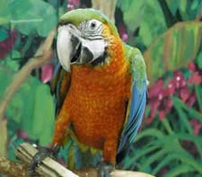 Harlequin Macaw - with a Green-winged Macaw father