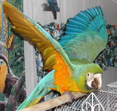 Picture of a Harligold Macaw, Second Generation Hybrid Macaw