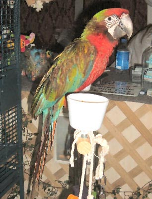 Picture of a hybrid Macaw, a Harlequin Macaw crossed with a Shamrock Macaw!